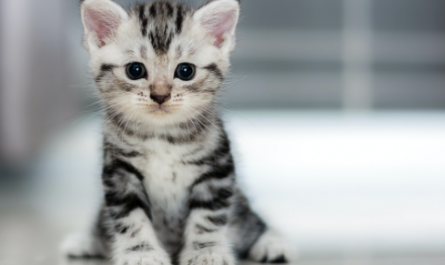 holistapet cat breed